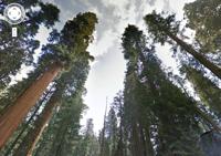 googleredwoods